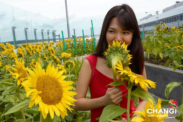 sunflower garden in changi airport singapore