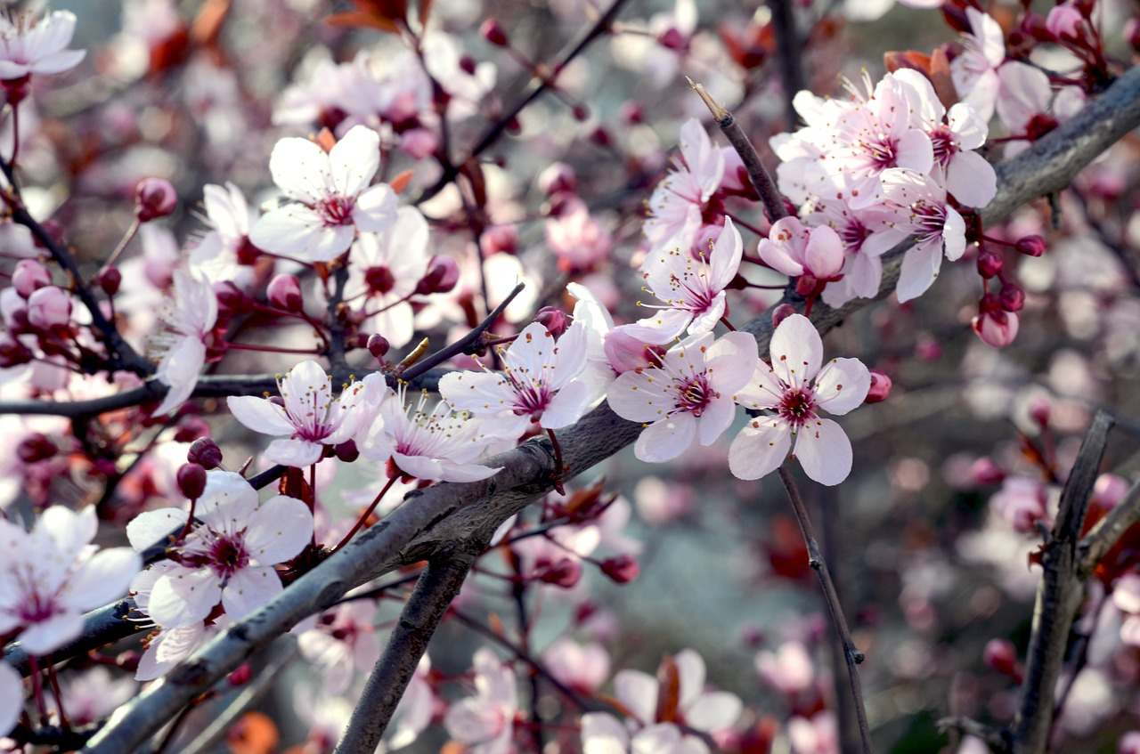 hamani or cherry blossom in tokyo