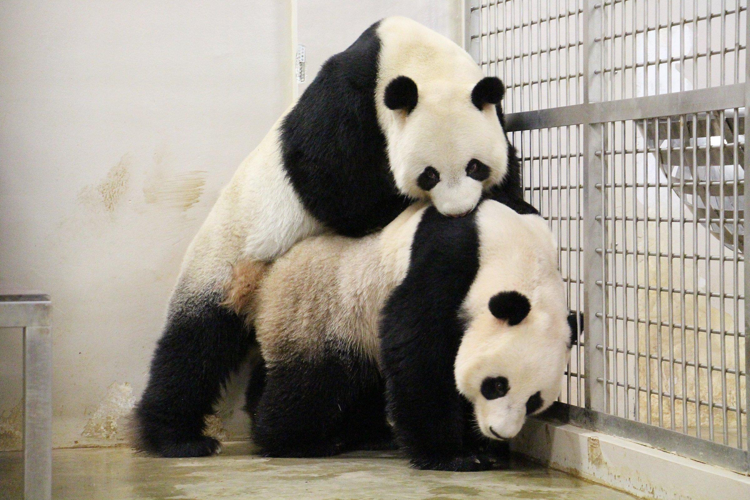 Singapore Invades Pandas Privacy and Showcases #PandaPorn