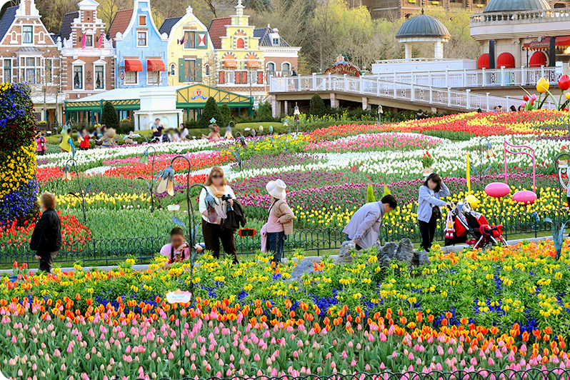 Tulips in Korea
