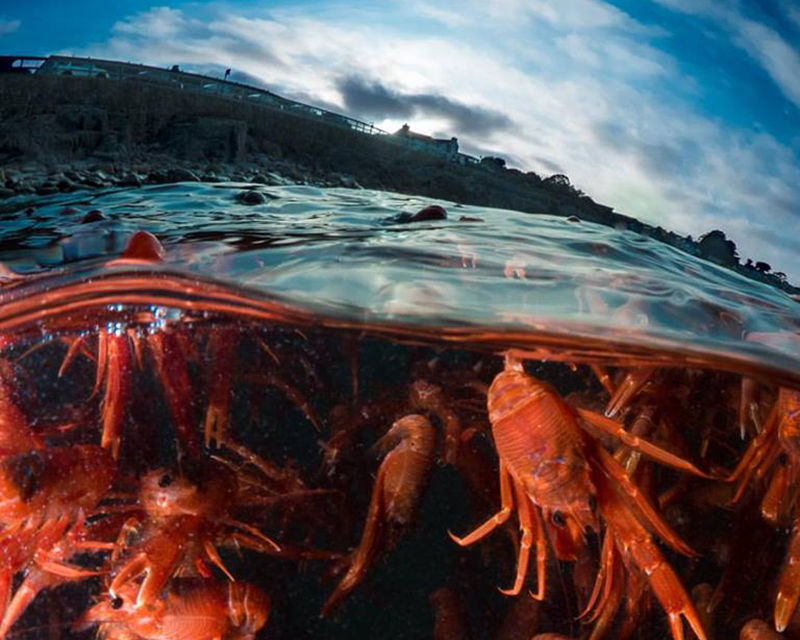 monterey bay pelagic red crabs