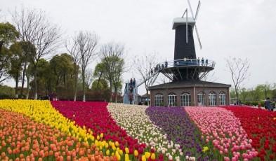 tulips asia pacific
