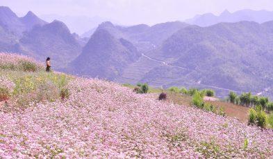 Hành trình thưởng thức hoa tam giác mạch Hà Giang