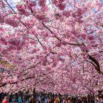 cherry blossoms beyond japan