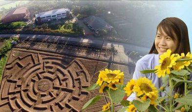 philippines sunflower maze