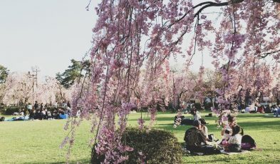 cherry blossom iwata aomori japan