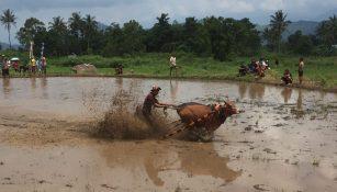 bull racing in sumatra