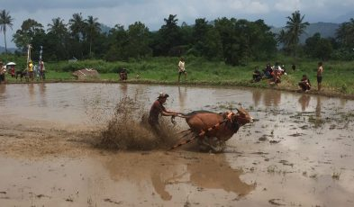 bull racing in sumatra